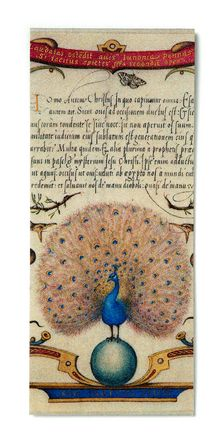 Calligraphic Specimen Book - Peacock